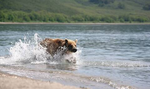 Αρκούδα περνάει το δρόμο με ψαριά έναν τεράστιο σολομό (vid)