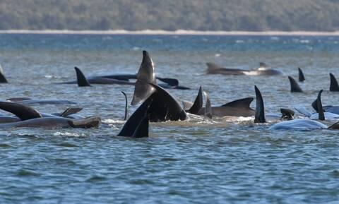 Απίστευτες εικόνες: Γέμισε η θάλασσα στα ρηχά... φάλαινες (video)