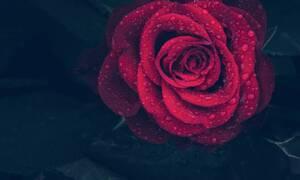 Θανάσιμη ομορφιά: Σπάνια μπλε οχιά κουρνιάζει σε κατακόκκινο τριαντάφυλλο (vid)