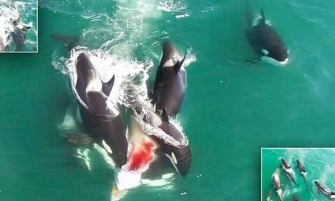 Φάλαινες κατασπαράζουν ζωντανή άλλη φάλαινα! (video)