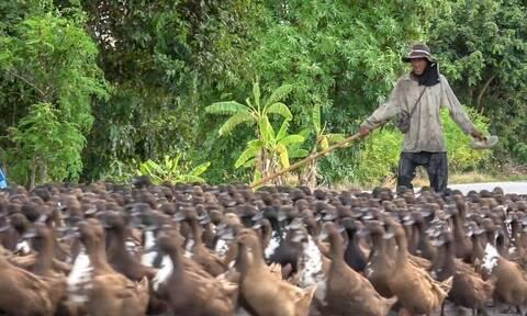 Χιλιάδες πάπιες κόβουν την κυκλοφορία γυρνώντας από τη δουλειά τους (vid)
