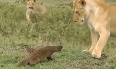 Μαγκούστα τα έβαλε με λιοντάρια - Έκπληξη με τον νικητή (vid)