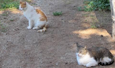 Κορονοϊός - Νέα μελέτη! Οι γάτες μεταδίδουν μεταξύ τους τον ιό, ενώ οι σκύλοι όχι