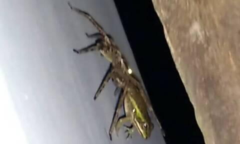 Απίστευτο video: Αράχνη καταβροχθίζει βάτραχο