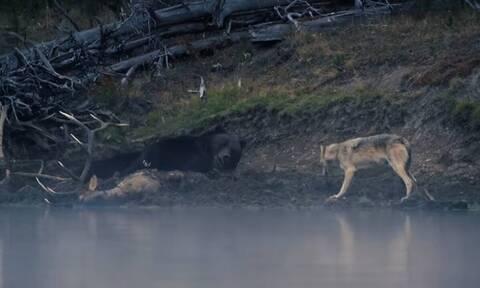 Λύκος πάει να κλέψει το φαγητό αρκούδας - Η απίστευτη αντίδρασή της (vid)
