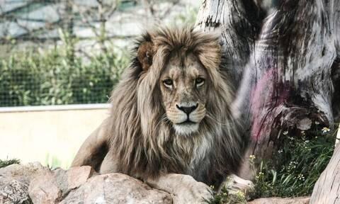 Έβαλε το χέρι του στο κλουβί με το λιοντάρι και το πλήρωσε – Σκληρές εικόνες