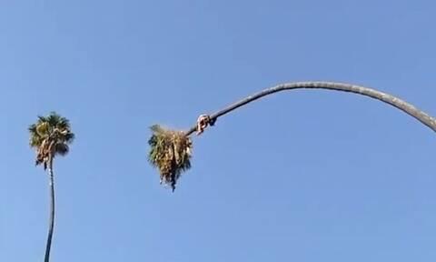 Βίντεο που κόβει την ανάσα: Ανέβηκε σε φοίνικα 30 μέτρων για να τον κόψει - Η συνέχεια τρομάζει