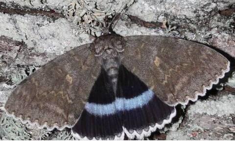 Ρωσία: Στο Τσερνόμπιλ ανακάλυψαν πεταλούδα σε μέγεθος πουλιού (pics)