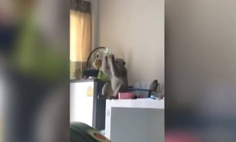Άτακτη μαϊμού έκανε... επιδρομή στην κουζίνα! (vid+pics)