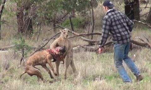 «Παίζει» μπουνιές με καγκουρό για να σώσει τον σκύλο του!