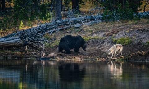 Επική μάχη αρκούδας με λύκο για το φαγητό! (vid)