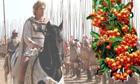 Γιατί ο Μέγας Αλέξανδρος λάτρευε το ιπποφαές;