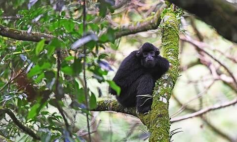 Αυτός είναι ο σπανιότερος πίθηκος στον κόσμο – Δείτε τι έκαναν για να σωθεί