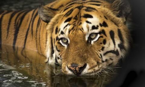 Απίστευτες εικόνες: Κοριτσάκι βγάζει βόλτα… την τίγρη της