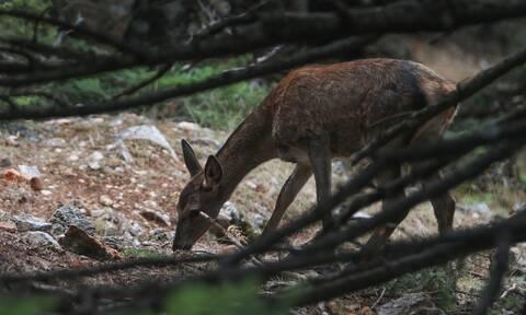 Σοκαριστικό: Ελαφάκι νεκρό στη Πάρνηθα – Δεν θα πιστεύετε τι του έδωσαν να φάει