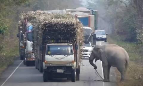 Απίθανος ελέφαντας-τροχονόμος: Σταματάει φορτηγά για να κλέψει φαγητό!