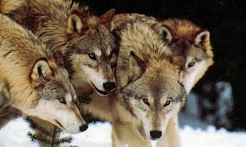 Δείτε τους «ραδιενεργούς» λύκους του Τσέρνομπιλ!
