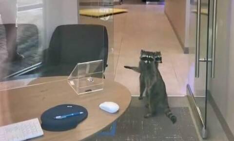 Εισβολή ρακούν σε τράπεζα! (video)