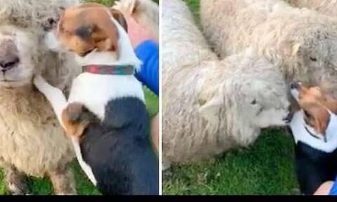Σκύλος λατρεύει τα πρόβατα, δεν σταματάει να τους δίνει… φιλάκια (video)