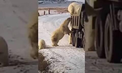Πεινασμένες αρκούδες κάνουν «ντου» σε σκουπιδιάρικο! (video)