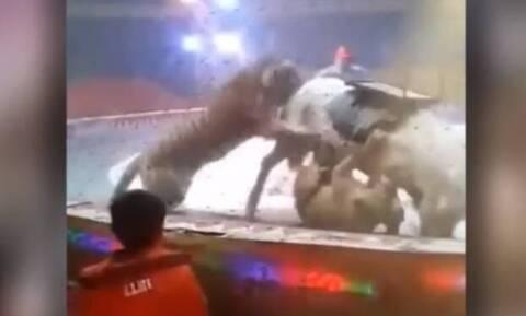 Λιοντάρια κατασπαράζουν ανήμπορο άλογο μέσα στο τσίρκο (video)