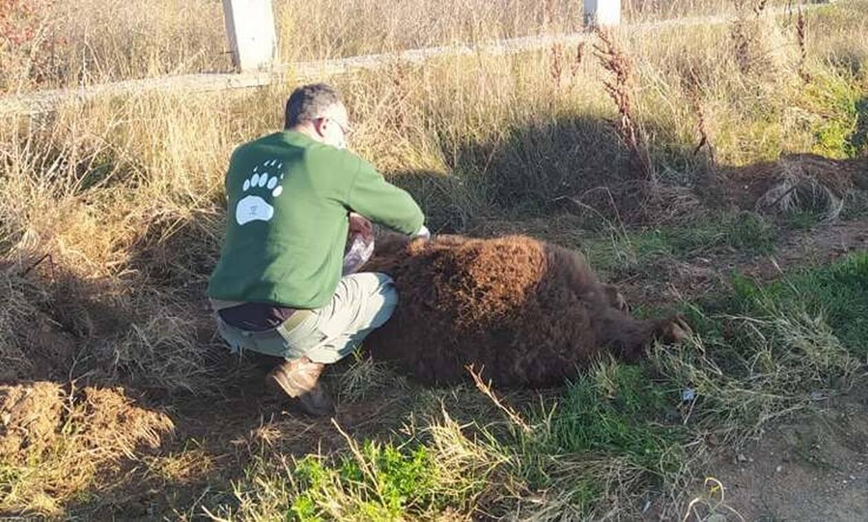 Καστοριά: Νεκρή σε τροχαίο αρκούδα 250 κιλών στην Μεσοποταμία