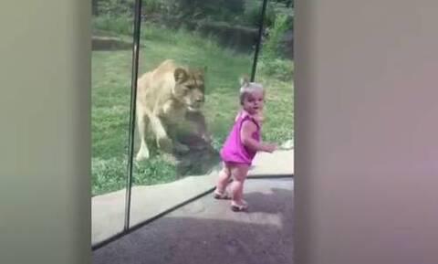 Λιοντάρι ορμάει σε κοριτσάκι, αλλά «τρώει» τα μούτρα του! (video)