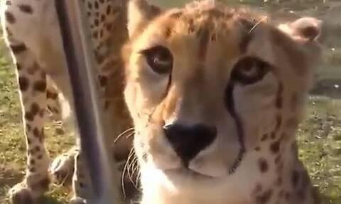 Τσιτάχ: Νιαουρίζουν σαν γάτες, αλλά είναι επικίνδυνα σαν λιοντάρια (vid)