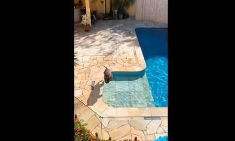 Φοβερός σκύλος κάνει τις καλύτερες βουτιές σε πισίνα! (video)