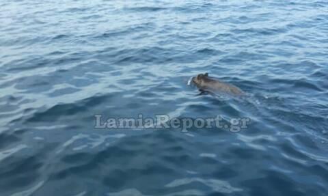 Φθιώτιδα: Αγριογούρουνο βγήκε για... κολύμπι - Απίστευτο θέαμα (video)