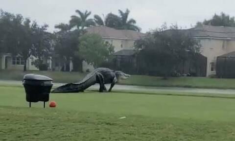 Προκαλεί τρόμο: Τεράστιος αλιγάτορας βόλταρε σε γήπεδο γκολφ! (video)