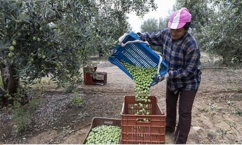 Κορονοϊός - Κρούσματα: Πώς η συγκομιδή της ελιάς προκάλεσε εκθετική αύξηση σε 4 νομούς