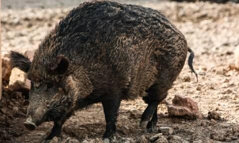 Lockdown: Οργιάζει το παράνομο κυνήγι στα Καλάβρυτα! Ανέβασαν τα... αγριογούρουνα στο Facebook