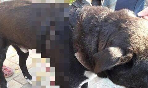 Βόλος: Έριξε βέλος στο σκύλο του γείτονα - Σκληρές εικόνες