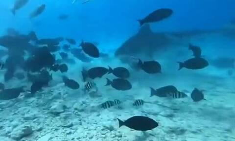 Η απίστευτη στιγμή που καρχαρίας κατασπαράζει μεγάλο ψάρι μπροστά σε δύτες (vid)
