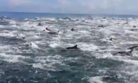 Απίστευτο θέαμα: Συνάντησε 1.000 δελφίνια στον ωκεανό!