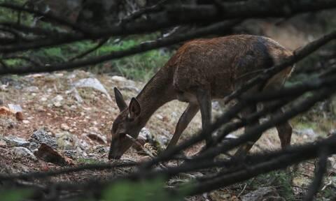 Απίστευτο: Καταζητείται... ελάφι που έκλεψε την καραμπίνα ενός κυνηγού
