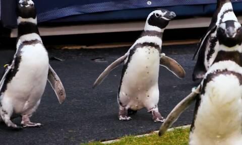 Πιγκουΐνοι έκαναν… βόλτα σε γήπεδο ποδοσφαίρου (photos+video)
