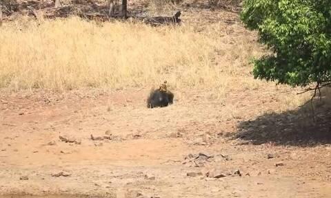 Τίγρης επιτέθηκε στην πιο άγρια αρκούδα στον κόσμο. Η «μονομαχία» τους... καθηλώνει!