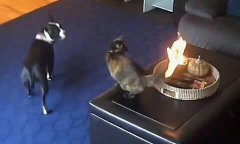 Γάτα παίζει με... σκύλο και παίρνει η ουρά της φωτιά! Η αντίδρασή της θα σας τρελάνει (vid)