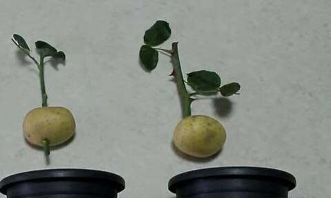 Fake ή αλήθεια: Τι πραγματικά συμβαίνει αν βάλεις τριαντάφυλλο σε μια πατάτα (Vid)
