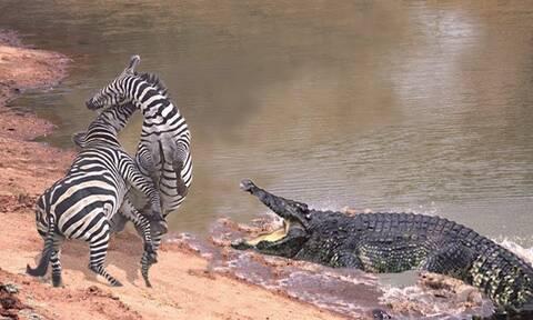 Κροκόδειλοι επιτίθενται κι εξαφανίζουν κοπάδι με ζέβρες