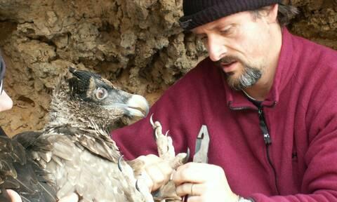 Ηράκλειο: Αρπακτικά πτηνά από την Κρήτη στην ηπειρωτική Ελλάδα