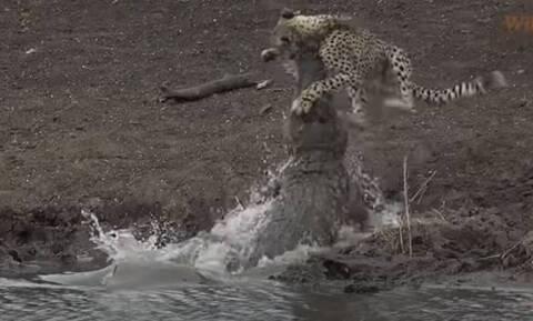 Σοκαριστική στιγμή: Κροκόδειλος κατασπαράζει τσιτάχ – Σκληρές εικόνες (video)