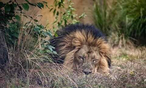 Κορονοϊός: Στην Ισπανία βρήκαν θετικά στην covid-19 τέσσερα λιοντάρια!