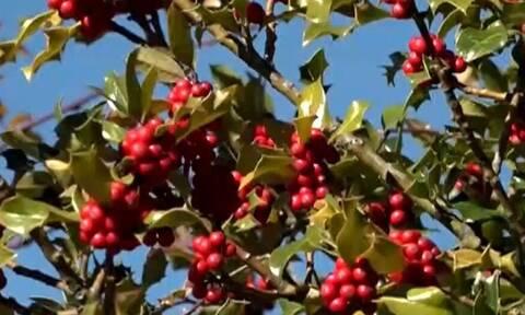 Αρκουδοπούρναρο: Το πανέμορφο στολίδι των Χριστουγέννων (video)