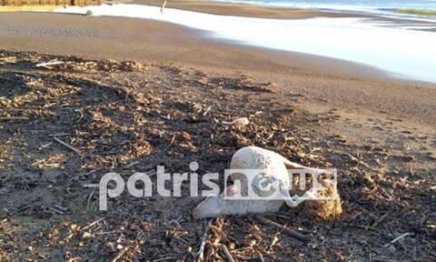 Ηλεία: Φρίκη στη Ροβιάτα - Γέμισε νεκρά πρόβατα η παραλία