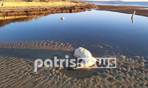 Ηλεία: Γαλλικά τα... νεκρά πρόβατα που ξέβρασε η θάλασσα