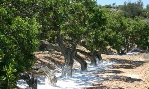 Στην Ελλάδα υπάρχει ένα δάσος που «κλαίει»