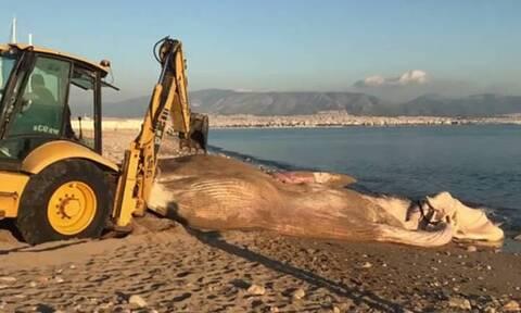 Απίστευτες εικόνες στον Πειραιά: Ξεβράστηκε νεκρή φάλαινα (pics)